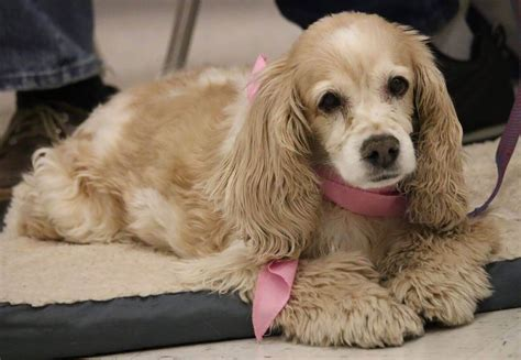 Cockapoo characteristics, appearance and pictures