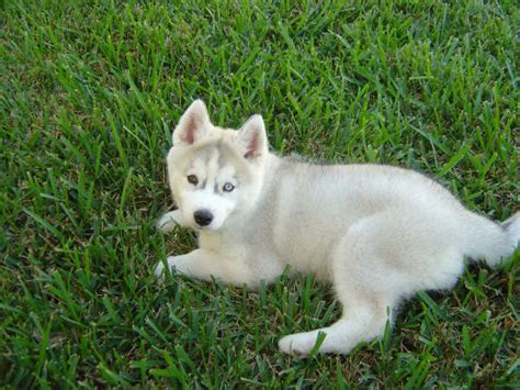 american husky puppy breed info american eskimo breeds picture
