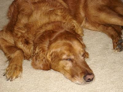 Lazy Non Shedding Dogs by Non Shedding Lazy Dogs Breeds Picture