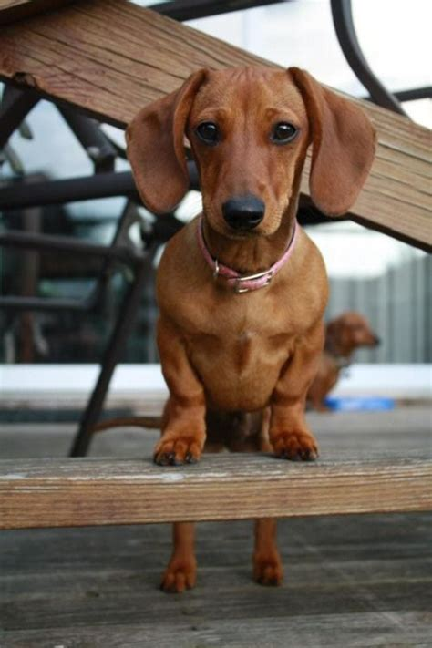 reasons  dachshunds    dogs