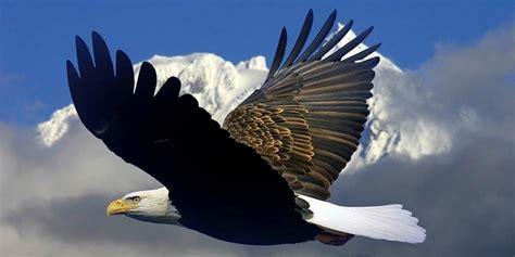 bald eagle the national bird of the usa dinoanimals com