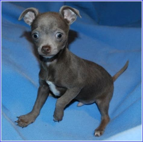 chihuahua puppies for sale in louisiana teacup chihuahua for sale in louisiana breeds picture