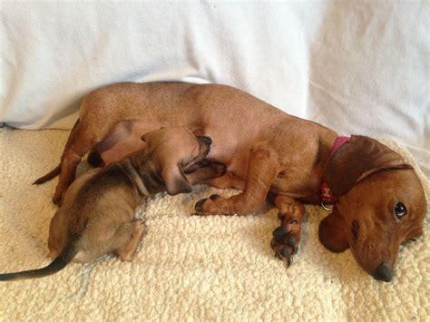 dachshund chihuahua puppy miniature dachshund x chihuahua puppies for sale mablethorpe lincolnshire pets4homes