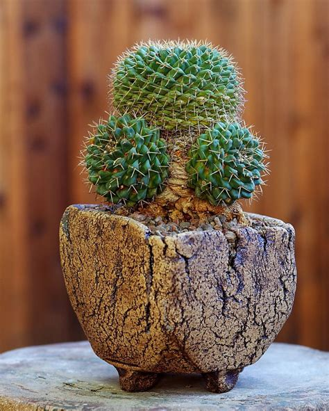 cactus planters 164 best images about driftwood manzanita and other