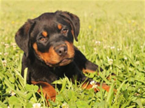 how to take care of rottweiler taking care of a puppy a of rottweilers