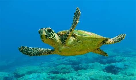 imagenes de animales lentos the loggerhead turtles caretta caretta in kefalonia