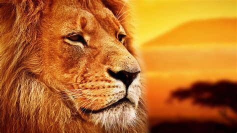 oboi lev lion savanna  zhivotnye