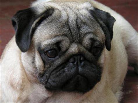 raza pug comportamiento de la raza de perro pug carlino