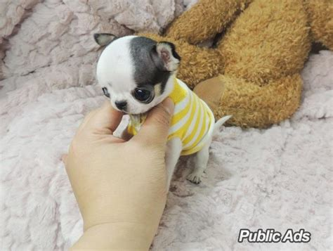 chihuahua puppies for free adorable teacup chihuahua puppies for sale welkom