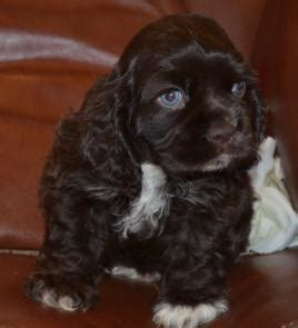 mini cocker spaniel puppies s cocker breeder of american cocker spaniel puppies