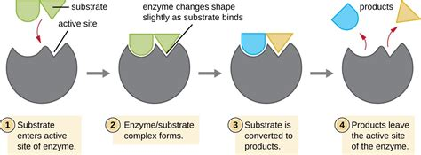 enzyme diagram enzyme substrate diagram www pixshark images