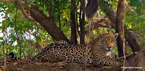 imagenes del jaguar en su habitat protecci 211 n del jaguar