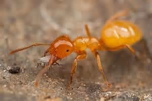 citronella ants bugguide net