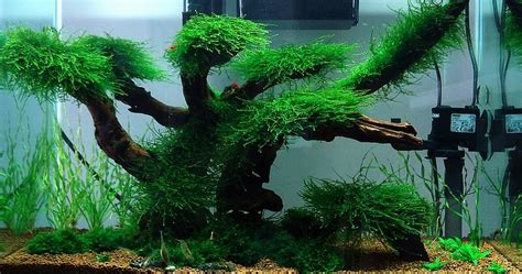 Aquascaping Tropical Fish Tank by Aquascaping Ideas Low Maintenance Moss Tree Layout