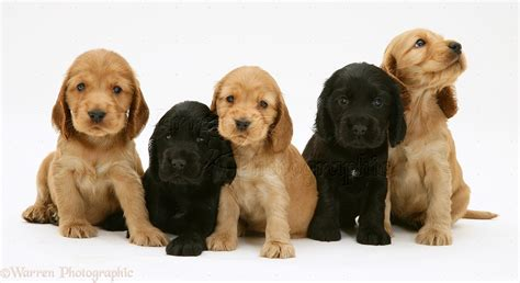 free cocker spaniel puppies cocker spaniel dogs 55 free hd wallpaper