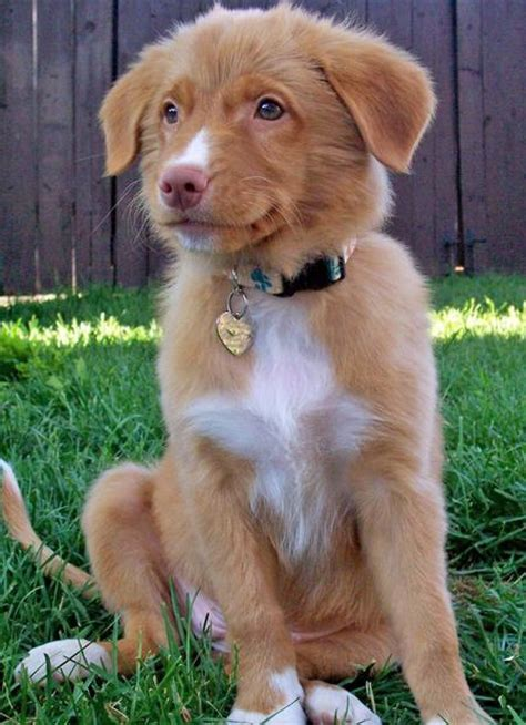 toller puppies donald the duck tolling retriever puppies daily puppy