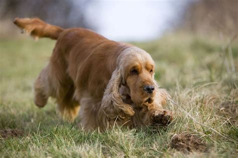 pictures of different breeds pictures of different breeds of dogs cocker spaniel