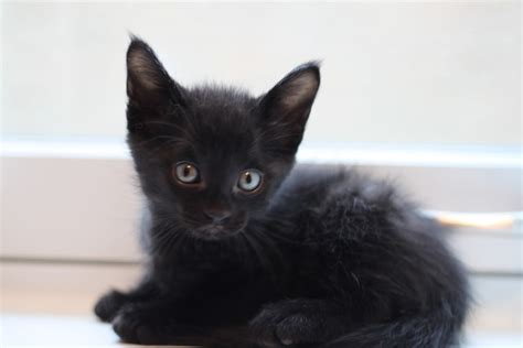 black kitty wallpaper pictures of cute black cats www imgkid com the image