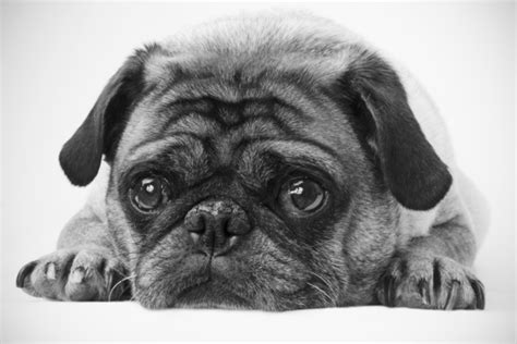 pug black and white black white pug custom wallpaper mural print by jw