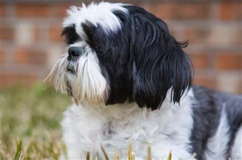 when does a shih tzu puppy become a shih tzu lovetoknow