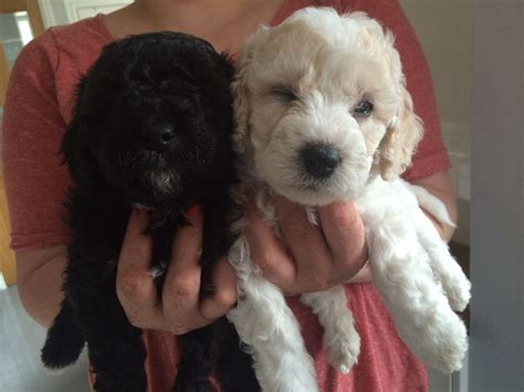 teacup cavapoo puppies for sale teacup cavachon puppies for sale breeds picture