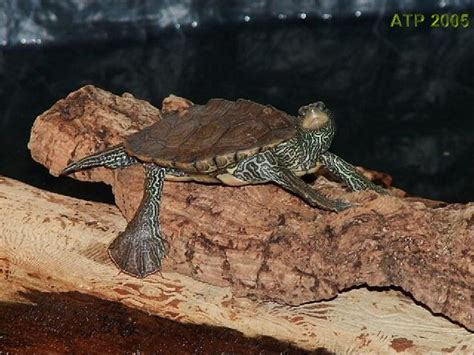 texas map turtle care map turtle care my