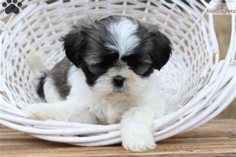 shih tzu puppies lancaster pa puppies for sale lancaster puppies autos post