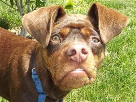 doberman pug mix puppies doberman pug mix doggies