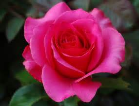 Images Of Rose Flower - gallery for gt natural rose flower wallpaper