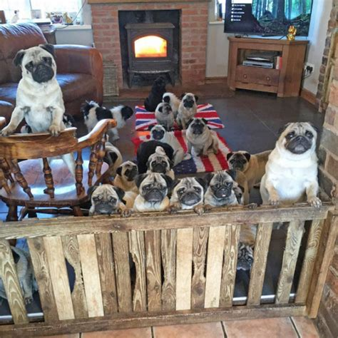how much are pugs worth becca this spends 163 20 000 a year on 30 rescue pugs metro news