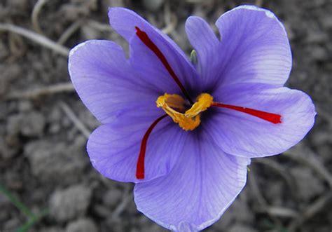 saffron flower pictures meaning saffron crocus flower