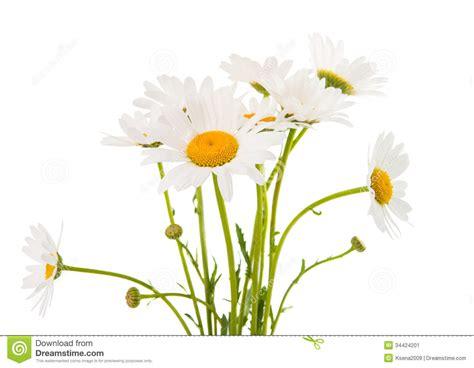 fiore della camomilla fiore della camomilla immagine stock immagine di