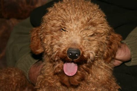 goldendoodle puppies oklahoma goldendoodles f1 f1b 1800 breeds picture