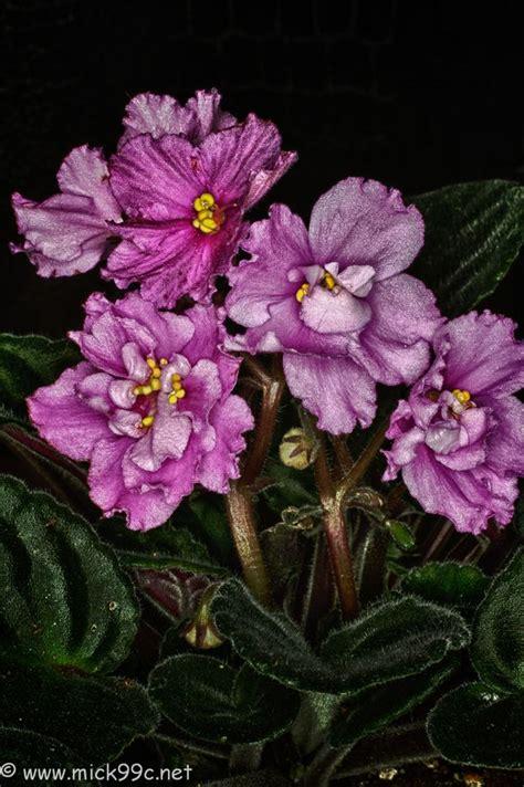 Bunga Artfcl Mini Violet 314 best images about violets on miniature plants and shops