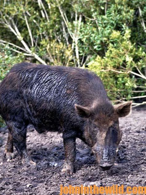 how to hunt with a spear the idea to hunt hogs with a spear in the