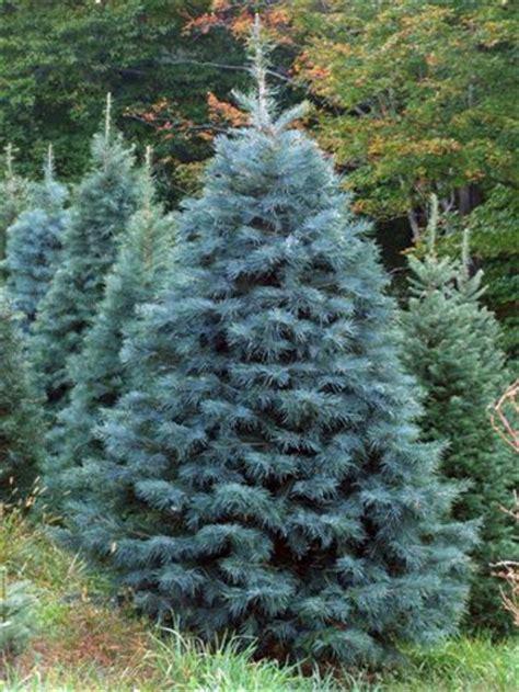 smoky mountain vintage lumber concolor fir