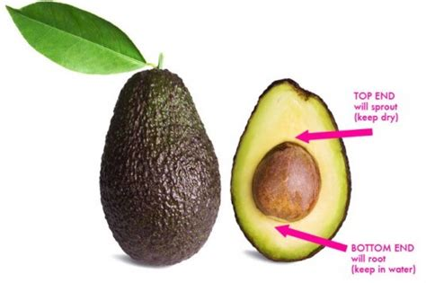 how do you start a in a pit how to grow an avocado tree from seed inhabitat green