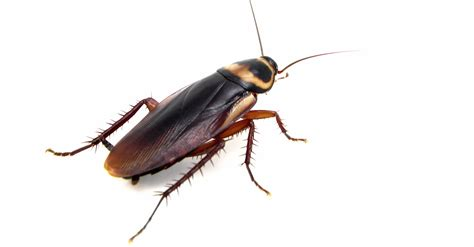 House Roaches by What Attracts Cockroaches To Your Home Atlanta Pest