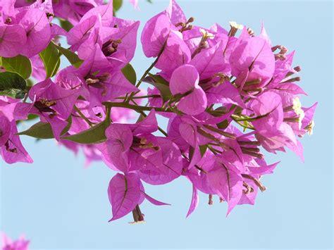 Bunga Poppy Pink Blossom bougainvillea pink flower 183 free photo on pixabay