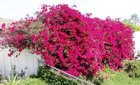 Easy To Care For Indoor Plants by Plantspedia The Beauty Of Bougainvillea