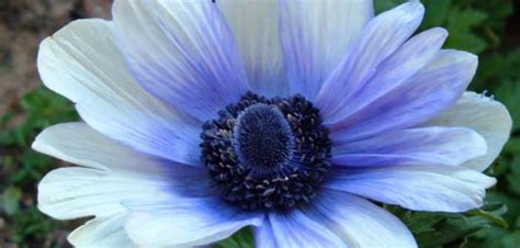 anemone dictionary anemone dream meaning and interpretations dream stop
