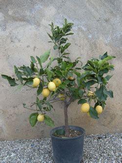 limoni in vaso coltivazione coltivare il limone in vaso qualche consiglio