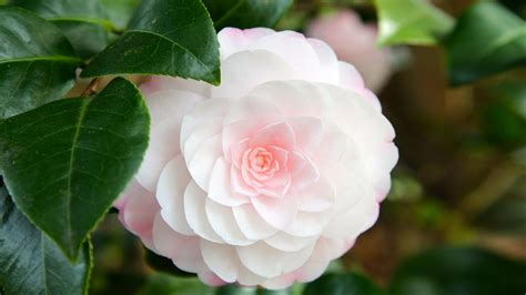 red camellia flower wallpaper 1024x768 resolution flower that looks like a rose with soft pink camellia hd