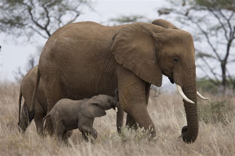 National Geographic Bloody Ivory gift giving social status drive global ivory demand new national geographic globescan study