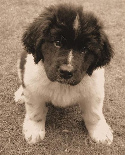 newfoundland puppies cost grey newfoundland puppy looking up to the jpg hi res 720p hd