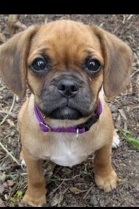 pug cross cavalier for sale 1000 images about doggies on pug bugg puppies and crosses
