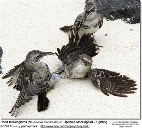 mockingbird predators mockingbirds or espa 241 ola mockingbirds of birds
