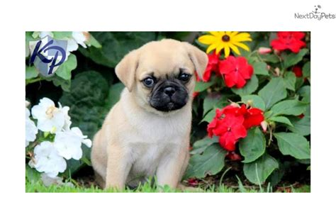 pug for sale in pa brady pug
