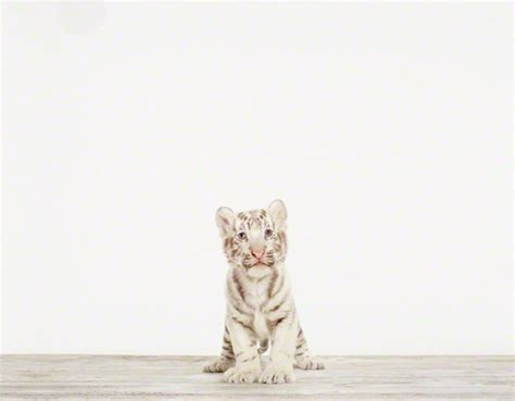 Baby White Tiger No. 1   Sharon Montrose   The Animal