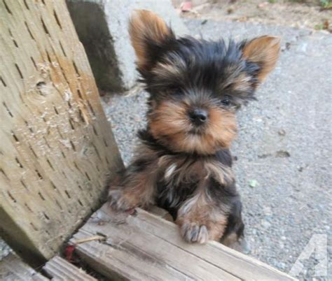 akc yorkie akc terrier puppies reduced price for sale in fall city washington